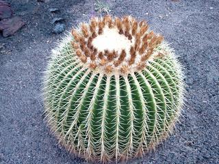 Kaktus, Schwiegermuttersitz - Kaktus, Schwiegermuttersitz, Goldkugelkaktus, Stacheln, pieksen, Tropen, Pflanze