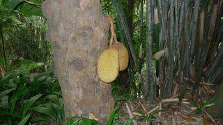 Jackfrucht  - Jackfrucht, Jaca, tropische Frucht, Maulbeergewächse, Artocarpus heterophyllus