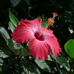 Hibiskusblüte - Blume, Blüte, Hibiskus, Eibisch, Malvengewächs, rot, Hibiskusblüte, Blütenblätter, Staubblätter, Stempel, rot, Hibiscus, Malve
