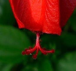 Was_ist_das#Pflanzen - Blume, Blüte, Hibiskus, Eibisch, Malvengewächs, rot, Hibiskusblüte, Blütenblätter, Staubblätter, Stempel, rot, Hibiscus, Malve