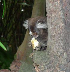 Mohrenmaki #4 - Mohrenmaki, Lemur, Lemure