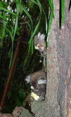 Mohrenmaki #3 - Mohrenmaki, Lemur