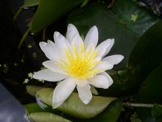 Blüte der Kleinen Teichrose - Büte, weiß, Teich, Wasserpflanze