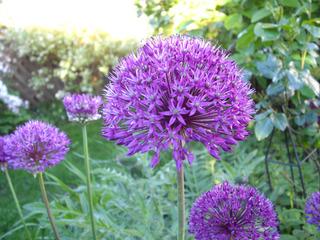 Allium giganteum - Alliceae, Lauchgewächse, Einzelblüten, Kugel, Staude, Knollenpflanze, Bienenweide