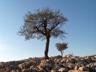 Olivenbaum - Olivenbaum, Mykene, Griechenland, immergrün, Olea europaea, steinig