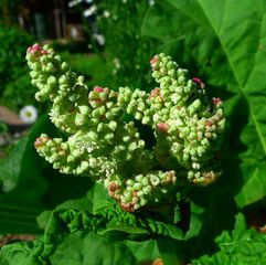 Rhabarberblüte - Staudengewächs, Rhabarber, Blüte, Knöterichgewächs, Kulturpflanze, mehrjährig, Blütenstand