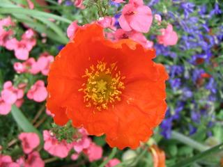 Mohnblüte #2 - Mohn, Mohnblüte, Samenkapsel, Kapselfrucht, Blüte