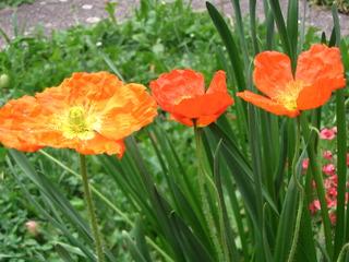 Mohnblüte #3 - Mohn, Mohnblüte, Samenkapsel, Kapselfrucht, Blüte