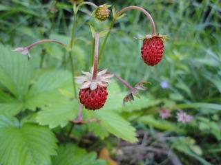 Walderdbeeren - Erdbeere, Wald, Rosengewächs, rot, Beeren, Garten, Wald.
