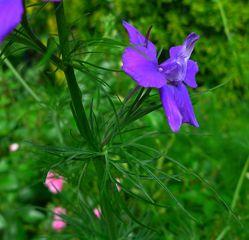 Ritterspornblüte #3 - Rittersporn, Hahnenfußgewächs, Blütenstand, traubig, Blüte, Pflanze, Blume, Frühling, blau, Stängel, grün, gespornt, Sporn, Natur, giftig, Heilpflanze