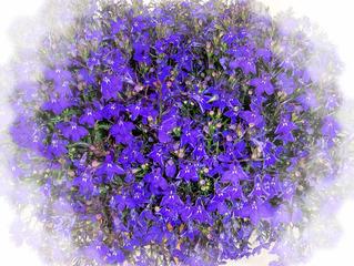 Lobelie - Männertreu - Lobelie, Männertreu, Blüte, Blume, Pflanze, Effektbild, blau