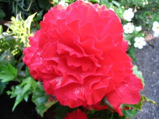 Begonie - Begonie, Schiefblatt, Blüte, rot, Zierpflanze