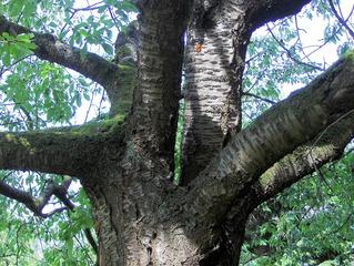 Kirschbaum #2 Struktur - Kirschbaum, Kirsche, Kirschen, Obst, Früchte, Natur, Baum, Krone, Früchte, Stamm, Blätter, Äste, Ast, Harz