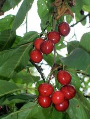 Kirschbaum #3 - Kirschbaum, Kirsche, Kirschen, Obst, Früchte, Natur, Baum, Krone, Frucht, Blätter, Steinkern, Stein, Kern, Kirschkern