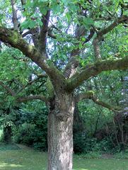 Kirschbaum #5 - Kirschbaum, Kirsche, Kirschen, Baum, Stamm, Äste, Ast, Krone, Blätter, Natur, knorrig, Rinde, Borke