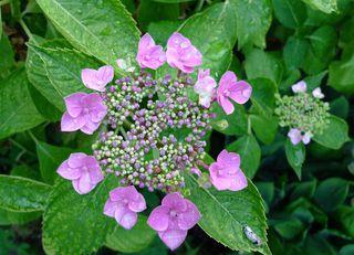 Hortensie #2 - Hortensie, Gartenhortensie, Hortensiengewächs, Blüte, Blütenblätter, lila