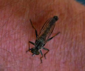 Raubfliege #1 - Fliege, Insekt, Raubfliege, Jagdfliege, Zweiflügler
