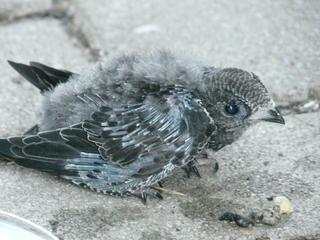 junger Mauersegler - Mauersegler, Vogel, Vogeljunges, Nest