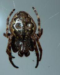 Kreuzspinne #2 - Spinne, Kreuzspinne, Spinnennetz, Webspinne, Radnetzspinne