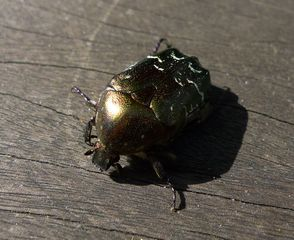 Goldrosenkäfer - Käfer, schillernd, Insekt, glänzen, Cetonia aurata