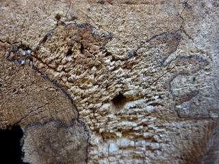 Alter Baumstumpf - Baum, Baumstumpf, morsch, Kernholz, Splintholz, Bast, Borke, Zersetzung