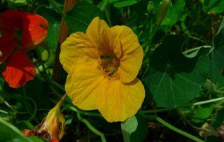 Kapuzinerkresse - Kapuziner, Kapuzinerkresse, Tropaeolum, Kreuzblütler, Blüten, Blätter, Lotuseffekt, schmutzabweisend, Sporn, Kapuzinermönch, Zierpflanze, essbar, klettern
