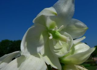 Blüte einer Yucca - Yucca, Palme, Blütenstand, rispig, Staubblätter, Blütenhüllblätter, Fruchtknoten, Agave, Agavengewächs