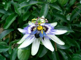 Passionsblume - Passionsblume, Blüte, Passiflora caerulea, Strahlenkranz, Kletterpflanze, weiß, blau, Pollen, Blütenstaub, Bestäubung