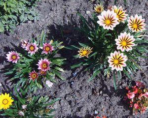 Mittagsblumen im Garten - Garten, Sommer, Mittagsblumen, Dorotheanthus bellidiformis, Mittagsblume, Blume