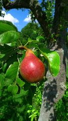 Birne  - Birne, Frucht, Kernobst, Rosengewächs, süß, Stiel
