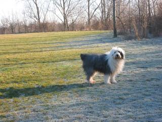 Bobtail - Haustier, Hund, Bobtail, Raureif