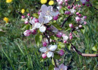 Apfelblüten mit Biene - Frühling, Obstplantage, Apfelblüten, Biene, Befruchtung, Apfelblüte, Obstblüte, blühen, Obstbaum