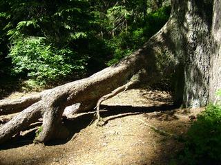 Wurzelholz  - Baum, Wurzel, Holz, Wald, Zeitabschnitt, Kunst