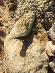 Eidechse - Eidechse, Mallorca, Spanien, Reptil
