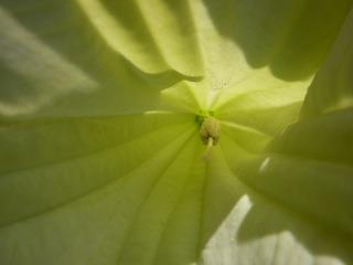 Was_ist_das#Pflanzen - Tropenblüten, Trompetenblüte, Knospen, giftig, Trompetenbaum, Lippenblütler, Giftpflanze, Engelstrompete, Nachtschattengewächs