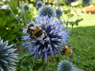 Hummeln auf einer Kugeldistel - Hummel, Insekt, Blüte, Nektar, saugen, fliegen, Bombus, Biene, Hautflügler, Stechimme, Wehrstachel