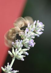 Falter - Falter, Lavendel