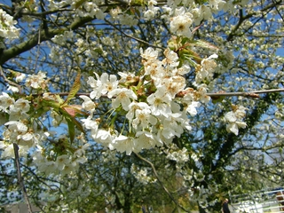 Kirschblüte - Kirschblüte, Kirsche, Obst, Blüte, Knospe, Kirschbaum