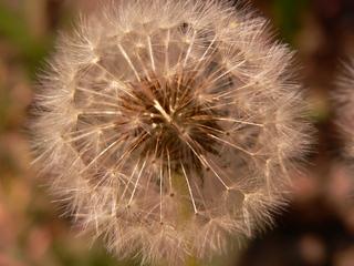 Löwenzahn - Wildpflanzen, Korbblütengewächse, Löwenzahn, Windverbreitung, Früchte, Pusteblume, Samen