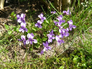 Veilchen - Veilchen, blau, violett, Frühblüher, Frühjahr