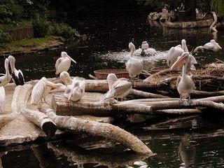 Pelikane im Zoo - Tiere, Zoo, Freigehege, Pelikan