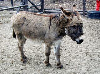 Esel - Säugetier, Haustier, Unpaarhufer, Hausesel, Esel