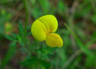 Hornklee - Hornklee, Schmetterlingsblütler, Schotenklee, Lotus corniculatus, Gemeiner Hornklee, Gewöhnlicher Hornklee, gelb
