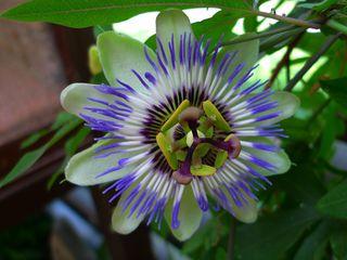 Passionsblume - Passionsblume, Blüte, Passiflora caerulea, Strahlenkranz, Kletterpflanze, weiß, blau