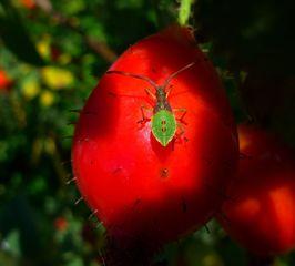 Braune Randwanze - Insekt, Wanze, Randwanze, Gonocerus acuteangulatus, Kontrast