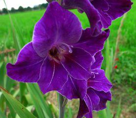 Gladiole - blau - Schwertliliengewächs, Gladiolus hortulanus