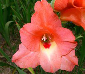 Gladiole - rosa - Schwertliliengewächs, Gladiole, Gladiolus carneus, Zierpflanze
