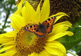 Schmetterling Kleiner Fuchs - Schmetterling, Kleiner Fuchs, Edelfalter Nymphalidae, Aglais urticae, Sonnenblume