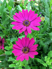 Kapkörbchen, Bornholm Margerite - Osteospermum eckjonis, Kapkörbchen, Bornholm Margerite, Blüte, Blüten, Blume, Pflanze, Garten, Sommer