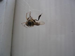 Spinne auf Beutejagd #1 - Spinne, Spinnennetz, Beute, Wespe, gefangen, Nahrung